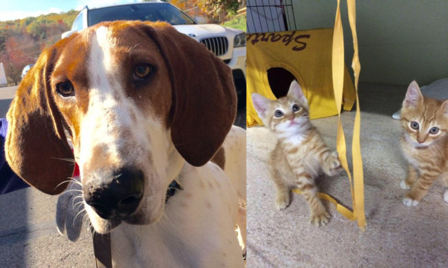 SHELTER SUNDAY: Meet Pete (Treeing Walker Coonhound) and Max and Trixie (orange tabby kittens)