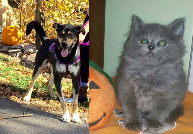 SHELTER SUNDAY: Meet Dalton (German shepherd/husky mix) and Prince William (Maine Coon mix)