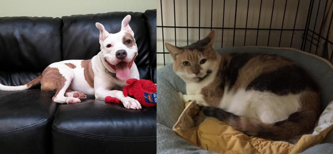 SHELTER SUNDAY: Meet Hund (pit bull terrier) and Anna (calico cat)