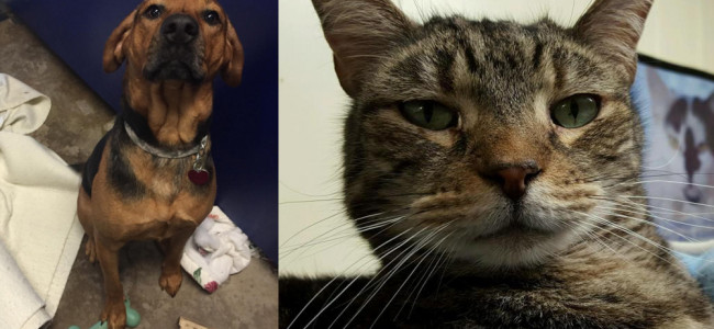 SHELTER SUNDAY: Meet Wade (hound mix) and Tiger (striped tabby cat)
