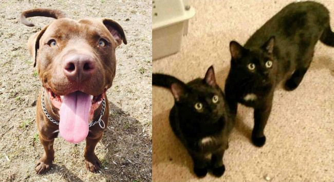 SHELTER SUNDAY: Meet Diesel (pit bull mix) and Jet and Jay (two black cats)