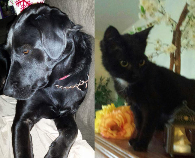 SHELTER SUNDAY: Meet Shadow (black lab) and Tux (bicolor kitten)