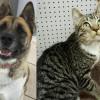 SHELTER SUNDAY: Meet Auska (Akita) and Maria (striped tabby cat)