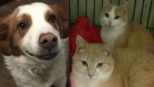 SHELTER SUNDAY: Meet Boo-Boo (Brittany spaniel mix) and Sammy and Suzie (orange tabby cats)
