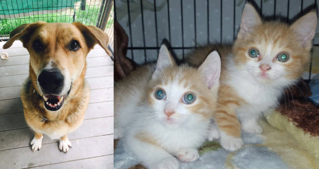 SHELTER SUNDAY: Meet Bear (German shepherd mix) and Stewie and Stanley (orange tabby kittens)