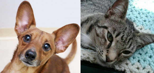 SHELTER SUNDAY: Meet Ren (Corgi/Chihuahua mix) and Miss Lucky (striped tabby cat)