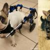 SHELTER SUNDAY: Meet Bane (French bulldog) and Cloud (striped tabby kitten)