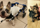 SHELTER SUNDAY: Meet Bane (French bulldog) and Cloud (striped tabby kitten)