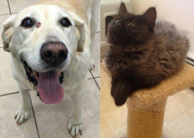 SHELTER SUNDAY: Meet Dusty (Labrador) and Devon (Maine Coon kitten)