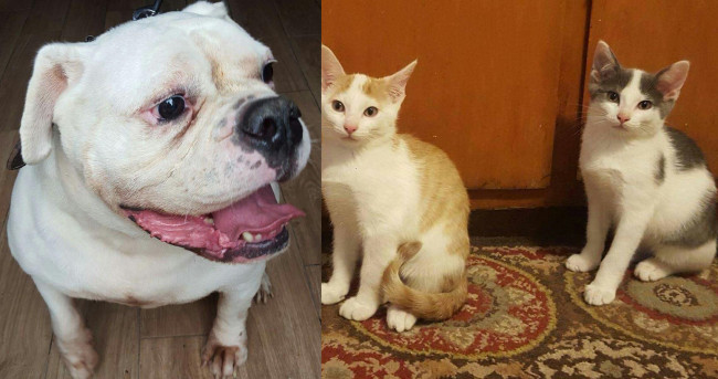 SHELTER SUNDAY: Meet Curry (English bulldog) and Milo and Jax (brother kittens)