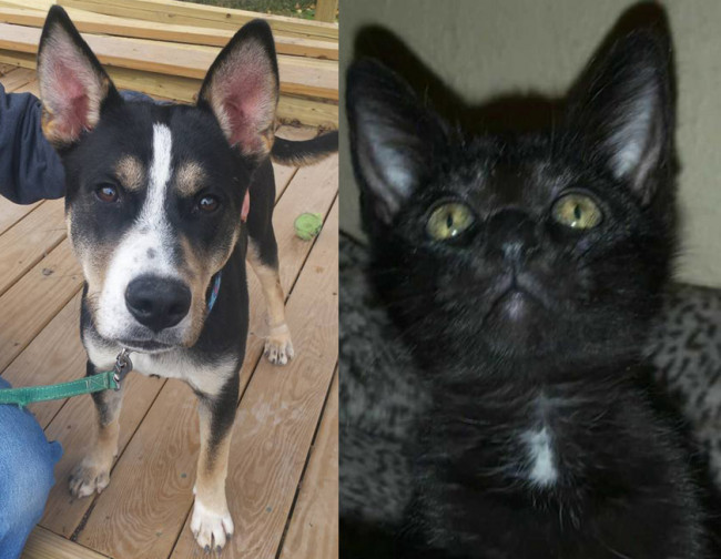 SHELTER SUNDAY: Meet Jax (German shepherd/husky mix) and Libby (black kitten)