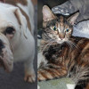 SHELTER SUNDAY: Meet Curry (English bulldog) and Autumn (calico/orange tabby mix)