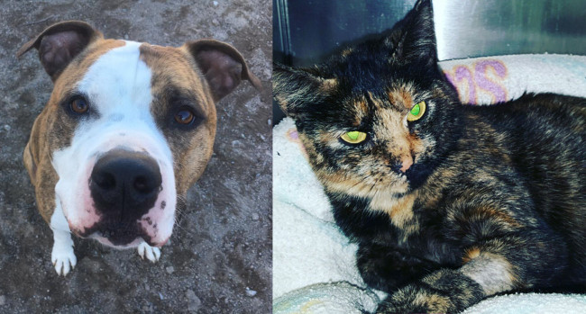SHELTER SUNDAY: Meet George (pit bull terrier) and Franny (tortoiseshell cat)