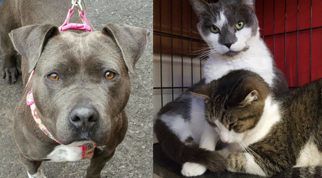SHELTER SUNDAY: Meet Spice (pit bull mix) and Don Juan and Pablo (bonded brother cats)