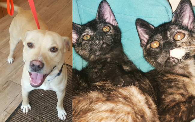 SHELTER SUNDAY: Meet Sid (yellow Lab mix) and Paige and Piper (tortoiseshell kittens)