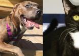 SHELTER SUNDAY: Meet Dakota (mastiff mix) and Skittles tuxedo cat)