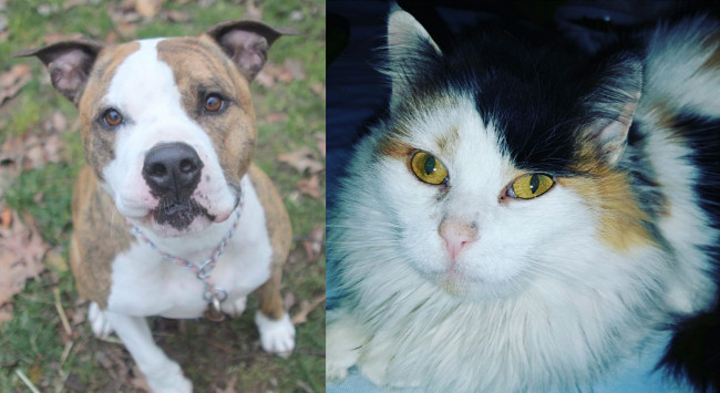 SHELTER SUNDAY: Meet George (pit bull terrier) and Melanie (longhair calico cat)
