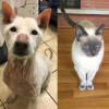 SHELTER SUNDAY: Meet Primo (Shiba Inu) and Murriah (blue point Siamese cat)