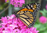 Learn all about monarch butterflies for free at Nay Aug Ave. Play Area in Scranton on July 12