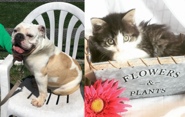 SHELTER SUNDAY: Meet Samantha (English bulldog) and Violet (semi-long haired kitten)