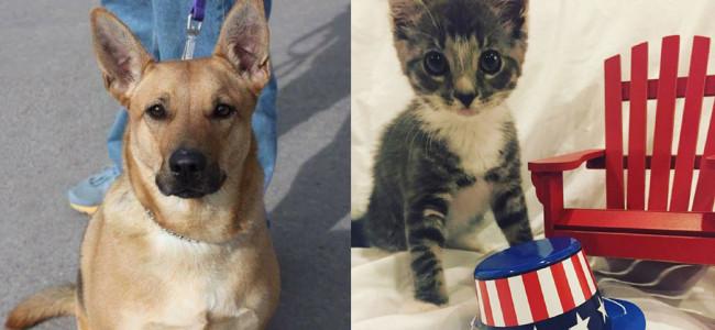 SHELTER SUNDAY: Meet Chopper (German shepherd mix) and Sage (striped tabby kitten)