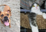 SHELTER SUNDAY: Meet Scoobie (bulldog/boxer mix) and Darcy (gray and white kitten)