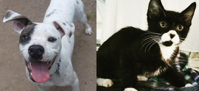 SHELTER SUNDAY: Meet Hawkeye (boxer mix) and Broadway (tuxedo kitten)
