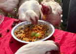 Indraloka Sanctuary lets rescued farm animals feast in annual ThanksLiving event in Mehoopany