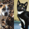 SHELTER SUNDAY: Meet Renesmee (bulldog/pit bull mix) and Addy (tuxedo kitten)