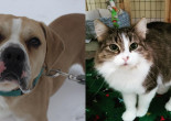 SHELTER SUNDAY: Meet Hercules (bulldog mix) and Casey (tabby cat)