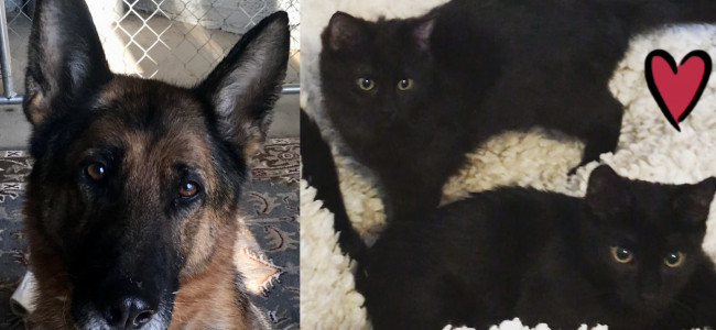 SHELTER SUNDAY: Meet Lexi (German shepherd) and Murphy and Lilly (black kittens)