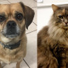 SHELTER SUNDAY: Meet Bella (puggle) and Chickie (Maine Coon mix)