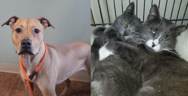 SHELTER SUNDAY: Meet Jax (pit bull mix) and Gia and Gemma (bonded gray cats)