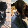 SHELTER SUNDAY: Meet Trouble (Giant Schnauzer mix) and Sherlock (tuxedo cat)