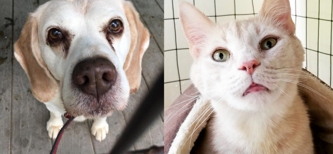 SHELTER SUNDAY: Meet Alvin (beagle) and Hank (orange and white tabby cat)