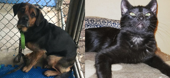 SHELTER SUNDAY: Meet Princess (Rottweiler mix) and Boo (black cat)