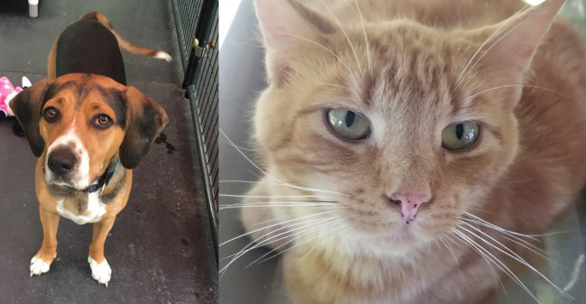 SHELTER SUNDAY: Meet CJ (beagle mix) and Stevie (orange tabby cat)