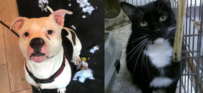 SHELTER SUNDAY: Meet Owen (American bulldog) and Mouse (tuxedo cat)