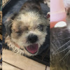SHELTER SUNDAY: Meet Pappy and Candy (senior Shih Tzus) and Dale (gray tabby cat)