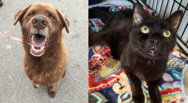 SHELTER SUNDAY: Meet Chocolate (Lab/chow chow mix) and Sampson (black cat)