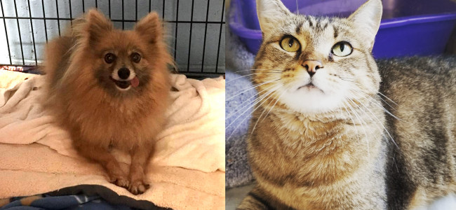 SHELTER SUNDAY: Meet Danielle (Pomeranian) and Tiny (tabby cat)