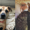 SHELTER SUNDAY: Meet Allie (Rhodesian ridgeback mix) and Romeo (Maine Coon mix)