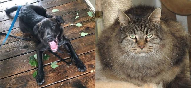 SHELTER SUNDAY: Meet Spirit (black Lab mix) and Lidsy (long hair cat)