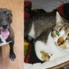 SHELTER SUNDAY: Meet Koda (brindle pit bull mix) and Holly (tabby cat)
