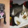 SHELTER SUNDAY: Meet Koda (brindle pit bull mix) and Holly (tabby cat)