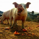 Indraloka Animal Sanctuary Pumpkins for pigs Project
