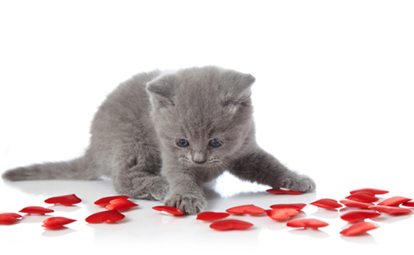For Valentine S Day Cat Toys : Valentines for felines collects donations through feb