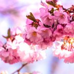 Cherry Blossom Festival Wilkes-Barre